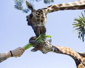 Adelaide Zoo General Admission with Giraffe Feeding Experience
