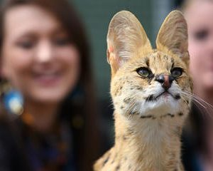 African Cat Encounter at Werribee Open Range Zoo