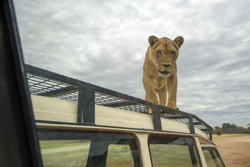 Lions 360 Experience and a Day at Monarto Zoo